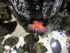 Sealife Seeanemone
